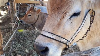Deux vaches qui mangent du foin